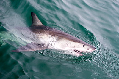 Great white shark (Carcharodon carcharias) at the surface at Kleinbaai in the Western Cape, South Africa, Africa - p871m895279 by Louise Murray