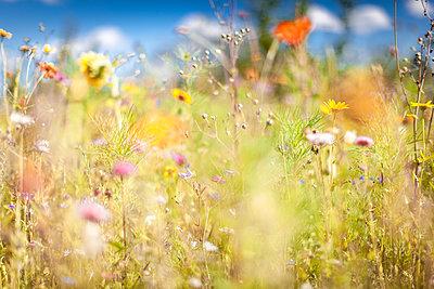 Blooming wild flower fled in summer - p1598m2168890 by zweiff Florian Bier