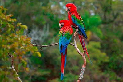 Red-and-green macaws - p1100m887917f by Art Wolfe