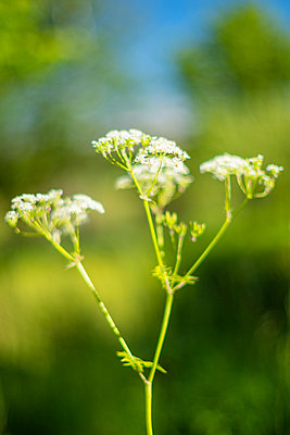 Cow parsley  - p1418m2191583 by Jan Håkan Dahlström
