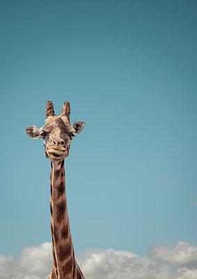 Portrait of giraffe and blue sky - p429m895435f by Matt Walford