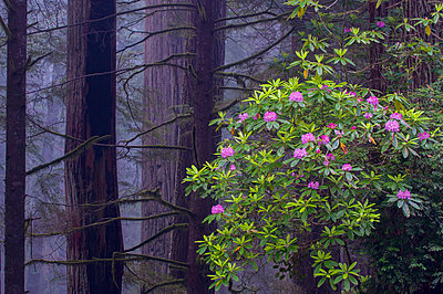 Pacific Rhododendron flowering in old growth Coast Redwood forest, Redwood National Park, California - p884m1356758 by Jeff Foott