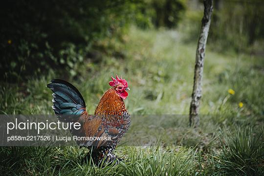 Hahn im Gras - p858m2217526 von Lucja Romanowska