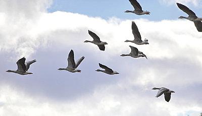 Kanadagänse fliegen in V-Formation I - p235m877580 von KuS