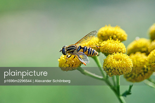 Bee on a yellow flower - p1696m2296544 by Alexander Schönberg