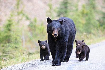American black bear (Ursus americanus) with bear cubs walking on a road - p300m885005f by Fotofeeling