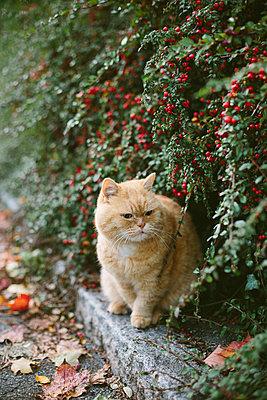 Rotgestreifte Katze am Wegesrand - p946m956188 von Maren Becker