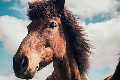 Portrait of Iceland horse - p947m1589042 by Cristopher Civitillo