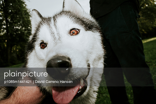 Husky close-up - p1085m1441421 by David Carreno Hansen