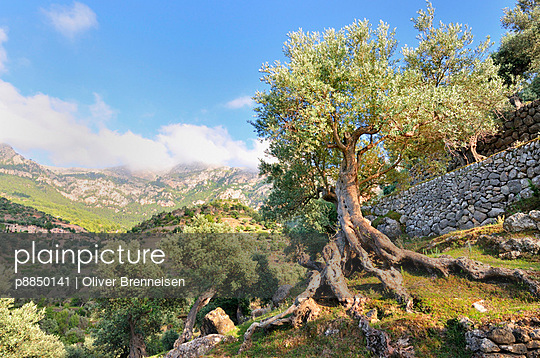 Olive tree - p8850141 by Oliver Brenneisen