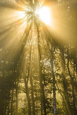 Sunbeams shining through trees - p312m1472812 by Mikael Svensson