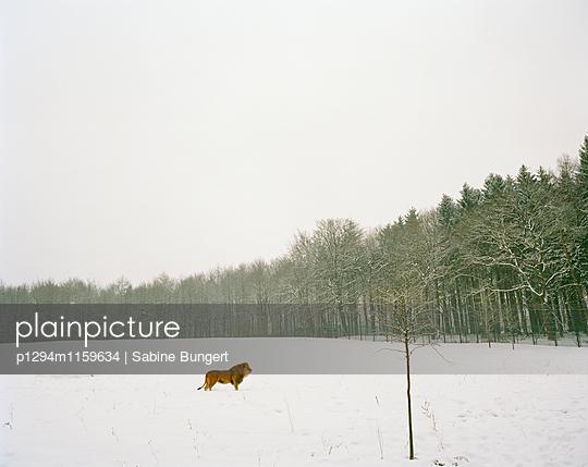 Löwe im Schnee - p1294m1159634 von Sabine Bungert