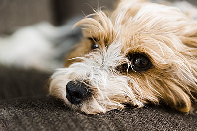 Yorkie with a brown and white head lying on the couch indoors. - p1166m2107769 by Cavan Images