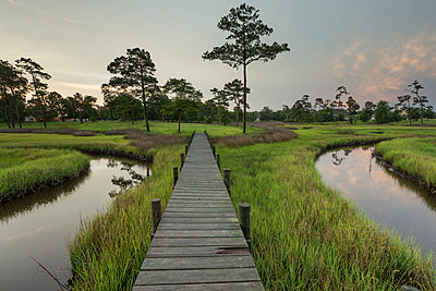 Planked footpath across reed in marshland, North Carolina - p1480m2228746 by Brian W. Downs