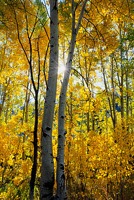 Backlit vertical image of aspen trees in the Sierra Mountains - p3433493 by Jerry Dodrill