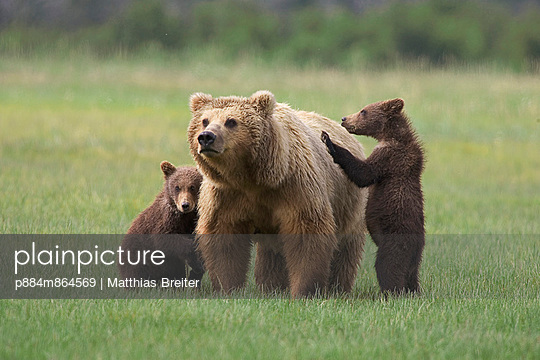 Grizzly Bear adult female with two yearling cubs on sedge flats - p884m864569 by Matthias Breiter