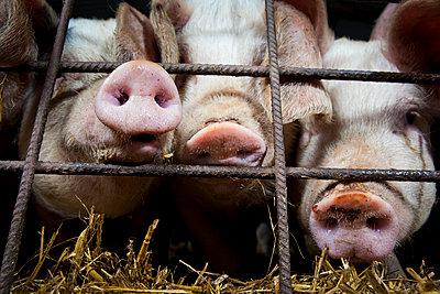 Schweine - p1057m1072089 von Stephen Shepherd