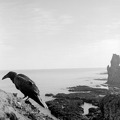 A raven on a cliff by Snaefellsjokull, Iceland - p348m732484 by Brian Berg