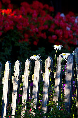 Flowers and fence - p4880376 by Bias