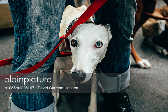 Tangled Dog - p1085m1223167 by David Carreno Hansen