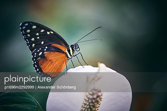 Little butterfly sitting on a flower - p1696m2292999 by Alexander Schönberg