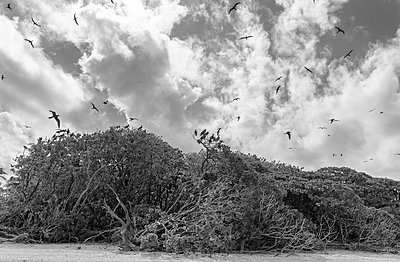 Polynesia, Tetiaroa, Birds flying above trees  - p1487m2253932 by Ludovic Mornand