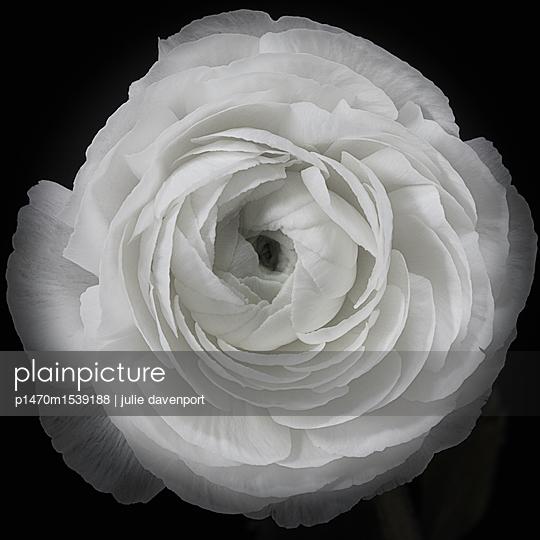 Close up of a white Ranunculus flower. - p1470m1539188 by julie davenport