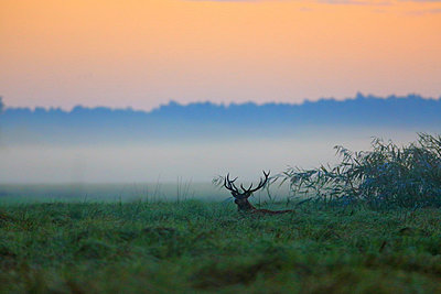 Stag At Dawn - p1026m809127f by Romulic-Stojcic