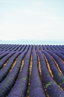 Lavendelfeld, bei Valensole, Plateau de Valensole, Alpes-de-Haute-Provence, Provence, Frankreich - p1316m1161010 von Daniel Schoenen