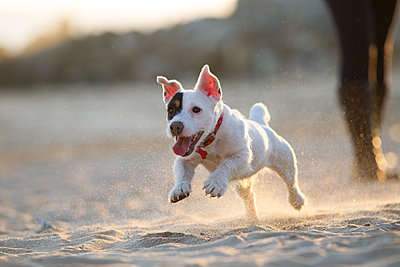 Jack russell running on beach - p429m1494463 by Gonçalo Barriga