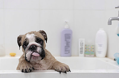 Portrait of English Bulldog sticking out tongue while standing in bathtub against wall at home - p1166m2067470 by Cavan Images