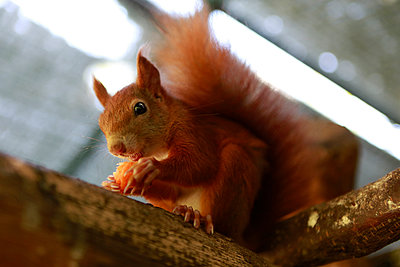 Squirrel eating a piece of carrot - p1221m1488247 by Frank Lothar Lange