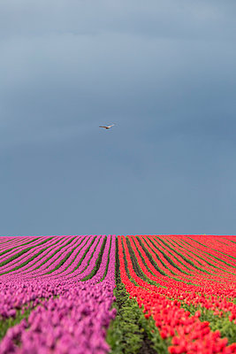 Germany, Magdeburg Boerde, tulip fields - p300m1023432f by Anke Scheibe