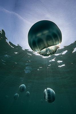 Cannonball jellyfish (Stomolophus meleagris), in ocean, underwater view, La Paz, Baja California Sur, Mexico, North America - p924m1519381 by Rodrigo Friscione
