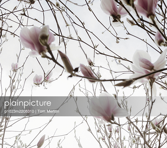 Close up pink cherry blossoms - p1023m2208310 by Tom Merton