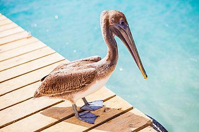 Pelikan schaut aufs Wasser - p045m1564610 von Jasmin Sander