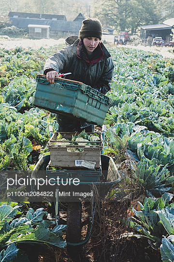 Woman standing in field, carrying plastic crate, harvesting cauliflowers. - p1100m2084822 by Mint Images