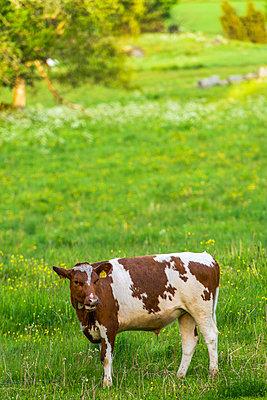 Grazing bull - p1418m1571990 by Jan Håkan Dahlström