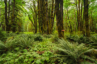A man stands hugging a tree in a rainforest with moss-covered trees and ferns, near Lake Cowichan; British Columbia, Canada - p442m2039442 by Robert Postma