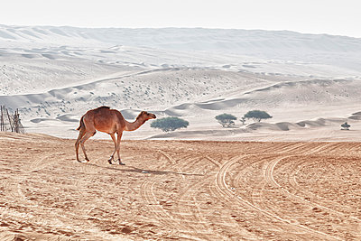 Camel in the desert - p631m913064 by Franck Beloncle