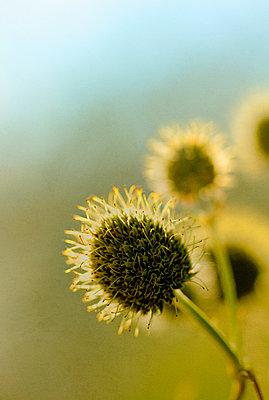 Seed Head - p1331m1169252 by Margie Hurwich