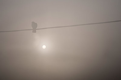 Pigeon on an electricity wire in the morning mist. - p1433m2013663 by Wolf Kettler