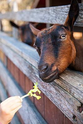 Feeding goats - p756m1042764 by Bénédicte Lassalle