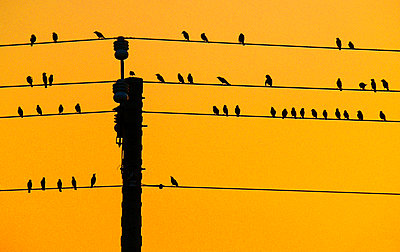 Flock of birds cling on electric cables, Vietnam, Southeast Asia - p934m1558834 by Quang Mau Thanh photography