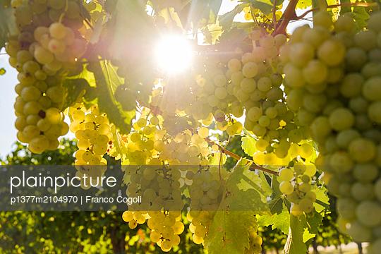 Italy, Friuli-Venezia Giulia, Udine district, Carlino, Azienda Agricola Bortolusso (cellar) - Bunches of Friulano grapes - p1377m2104970 by Franco Cogoli