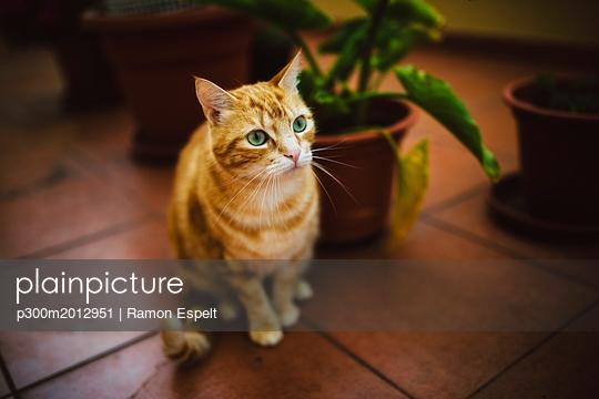 Portrait of tabby cat sitting on tiled floor - p300m2012951 von Ramon Espelt