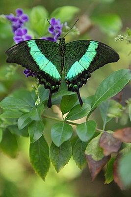 Zauberhafter Schmetterling - p045m892843 von Jasmin Sander