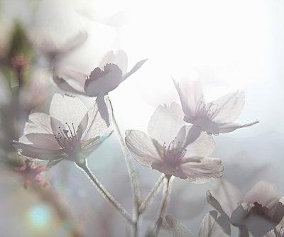Ethereal shot of white cherry blossom, prunus serrulata - p429m819277f by Mickey Cashew