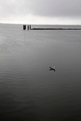 einsame moewe hiddensee - p627m671183 by Hendrik Rauch