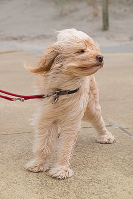 Hund im Sturm - p299m1491252 von Silke Heyer